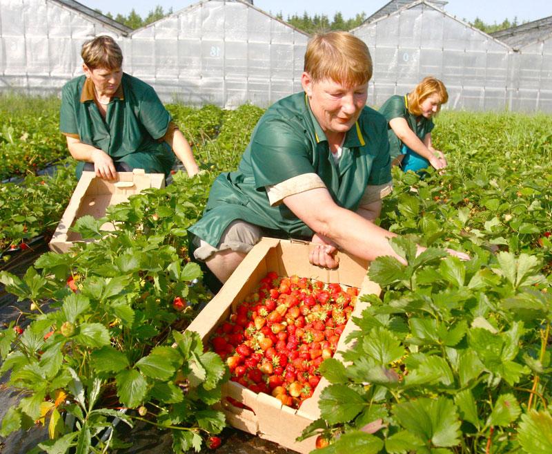 Выращивание клубники круглый год, как вариант бизнеса