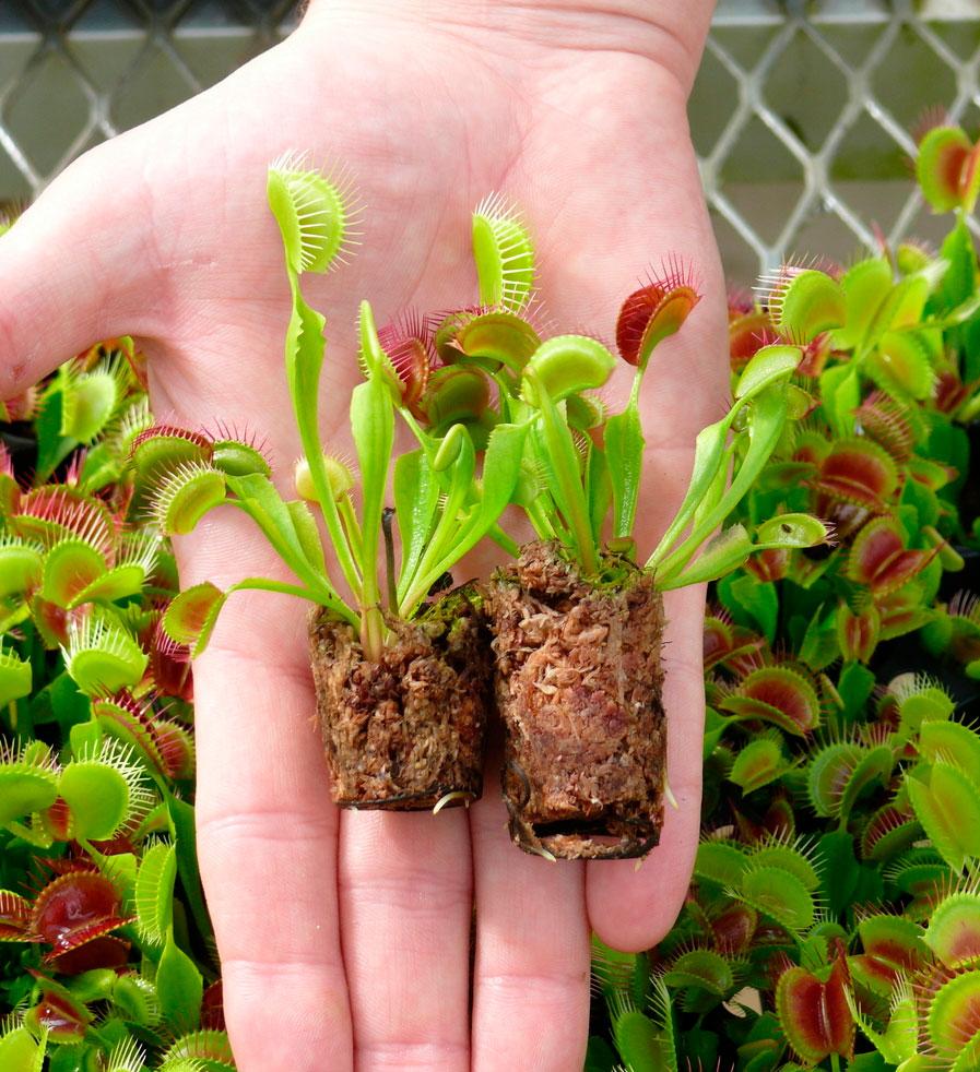 Выращивание хищных растений как вариант домашнего бизнеса