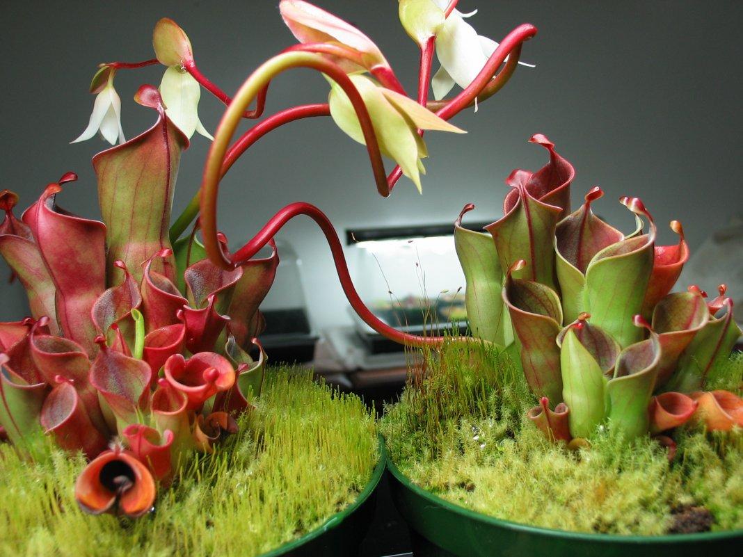 Выращивание хищных растений 71